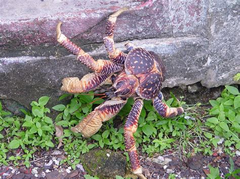 coconut crab galathea national park wikipedia