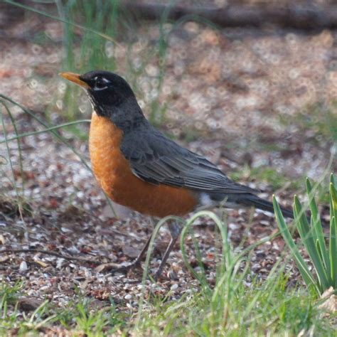 early spring birds in new jersey robin and red winged