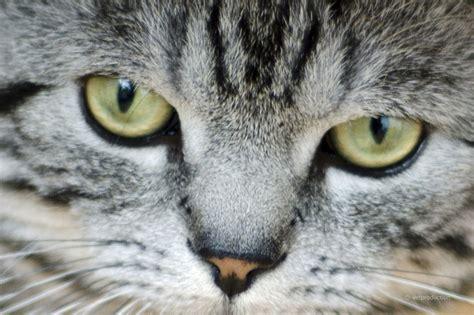 wann werden katzen rollig so ein katzenjammer wann katzen nicht aufh 246 ren zu miauen