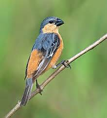 9 Canto V tawny bellied seedeater wikipedia