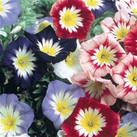 morning fiore morning seeds convolvulus ensign mix flower seed