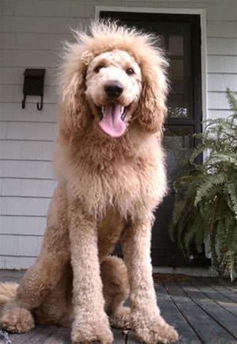 dogs that look like lions cbsnews labradoodle looks like a looks like a