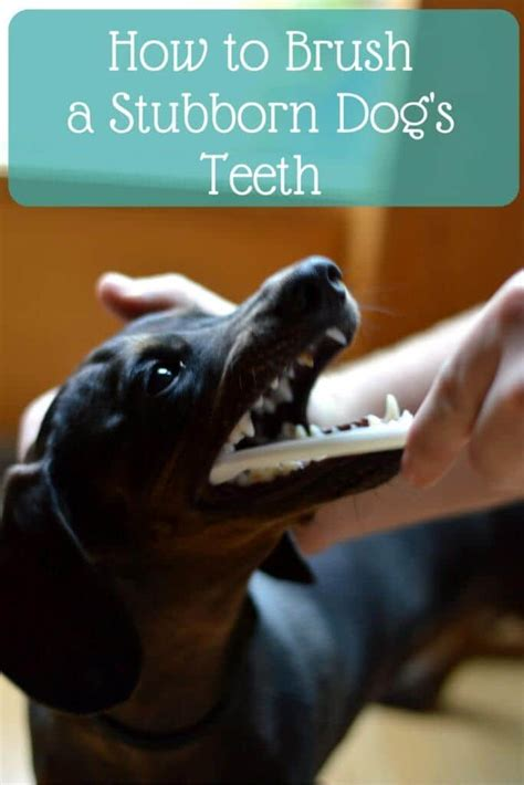 how to brush dogs teeth creating healthy habits for the whole family how to