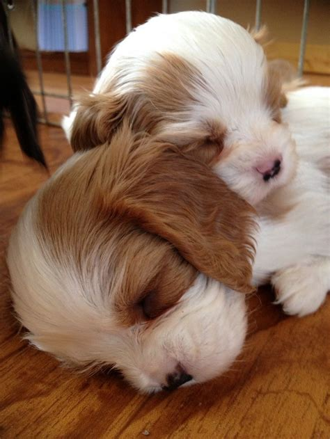 anchorage puppies 17 best ideas about chihuahua on mini puppies teacup dogs and teacup