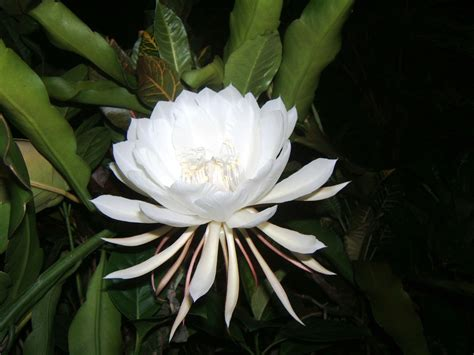 kadupul or the queen of the night the legendary rare