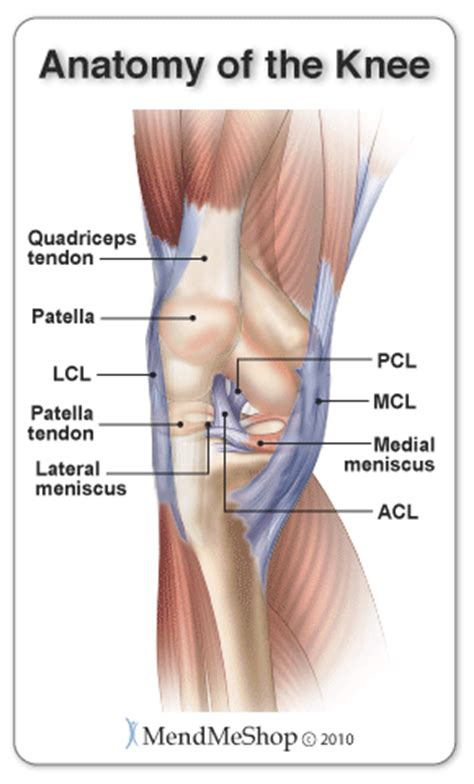 On Interior Of Knee by Anatomy Of The Knee Quadriceps Tendon Lcl Patella Tendon