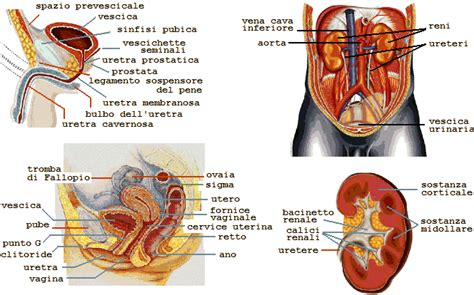 organi interni corpo umano lato destro seminario i 9 pilastri movimento acqua