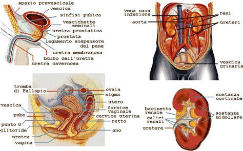 organi interni corpo umano lato sinistro ua uz