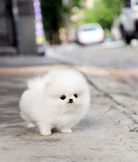 how to make pomeranian hair fluffy these 16 fluffy animals will make you say awww bored panda