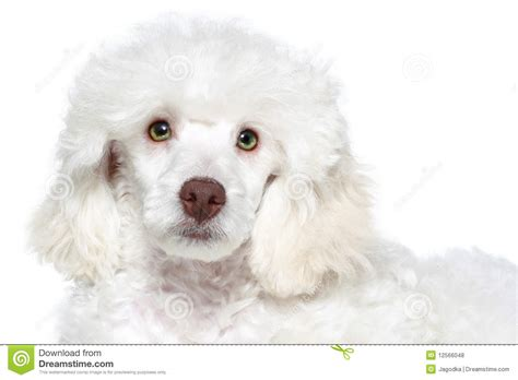 white poodle puppy white poodle puppy royalty free stock photos image 12566048