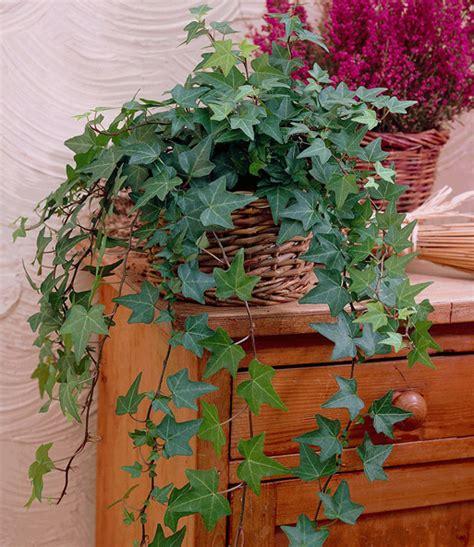 wohnung kaufen root efeu top zimmerpflanzen kaufen baldur garten