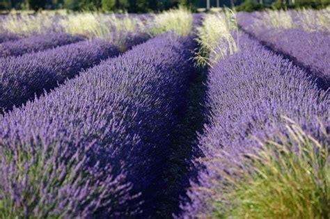 550 best lavender images on pinterest