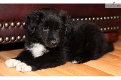 black australian shepherd puppy miniature australian shepherd puppy for sale near richmond virginia badb8c12 0ed1