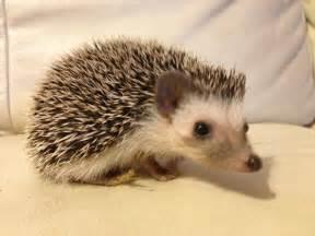 female african pygmy hedgehog for sale milton keynes