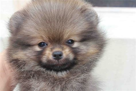 wolf colored pomeranian wolf pomeranian for sale breeds picture