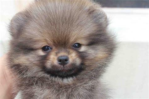 wolf pomeranian wolf pomeranian puppy grosir baju surabaya