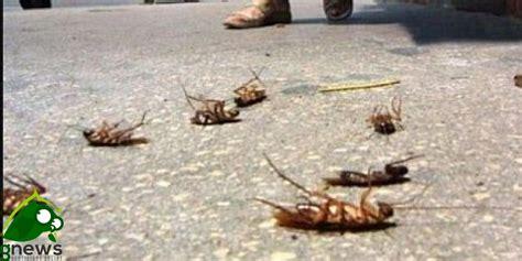 blatte volanti ore contate per gli scarafaggi galatinesi galatina