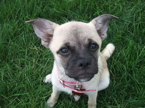 pug and husky breed 30 best images about pug breeds on husky american eskimo and