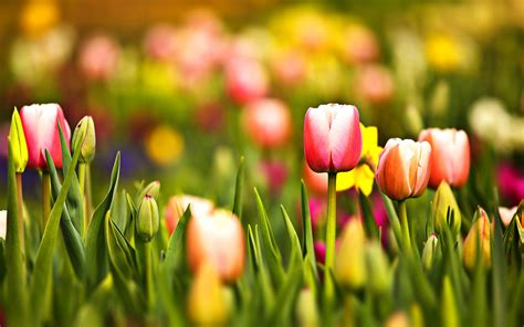 flowers blooming blooming tulips wallpapers and images wallpapers