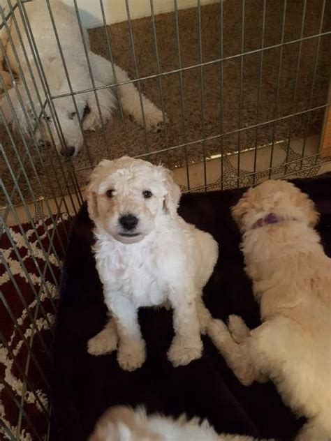 free puppies sacramento ca poodle standard puppy for sale in sacramento california
