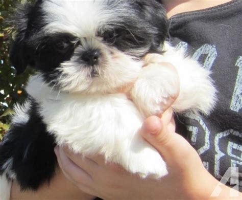 shih tzu oregon apri registered purebreed shih tzu puppies 3 potty trained for sale in grants