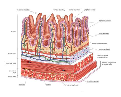 section of small intestine small intestine photograph by asklepios medical atlas
