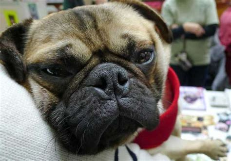 odie the pug photos pet adoptions times union