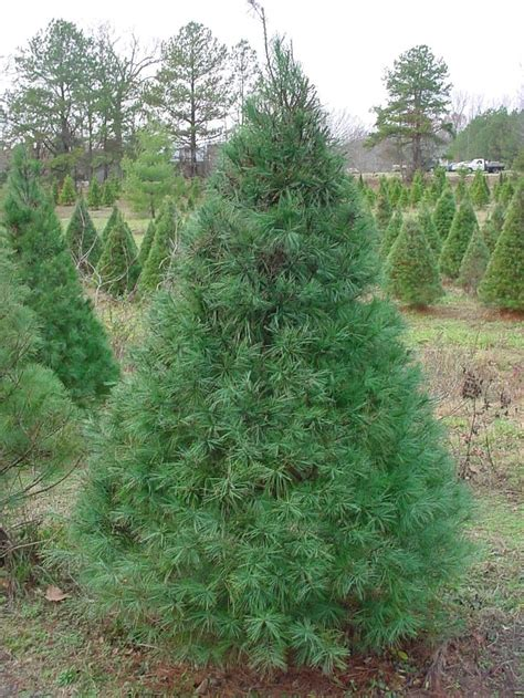 christmas tree types white pine find    choose