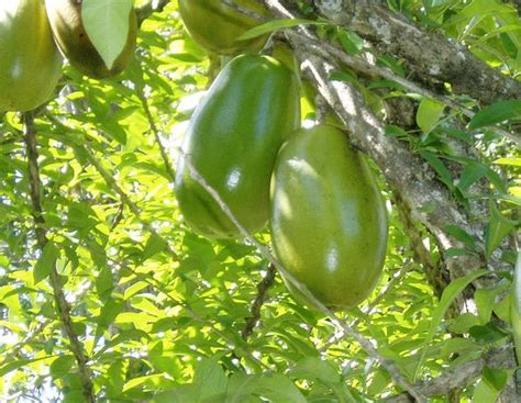 tree with gourd like fruit calabash tree fruits vegetables