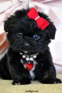 affenpinscher rescue australia pics photos the cutest puppy ever