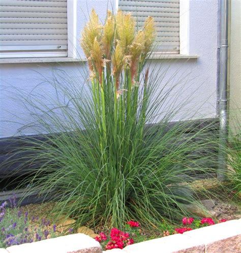 Garten Pflanzen Versand by Cortaderia Selleona Pasgras Gr 228 Ser Pflanzen