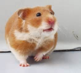 just for share by enysuryo types of hamsters hamster