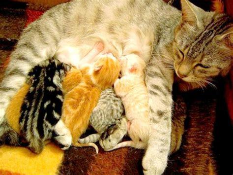 alimentazione mamma allatta allattamento gattini e alimentazione