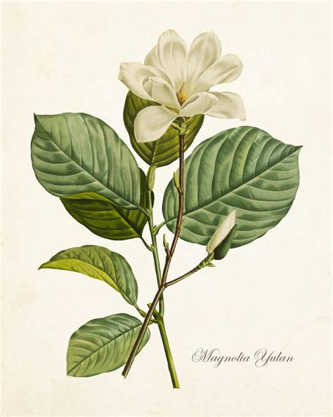 libro the botanical art files magnolia yulan botanical art print no 12 bellebotanica