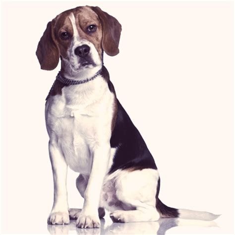 dogs 101 beagle beagle dogs 101 choosing a breed to suit you petcarerx