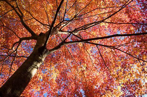 covering maple tree  izu peninsula