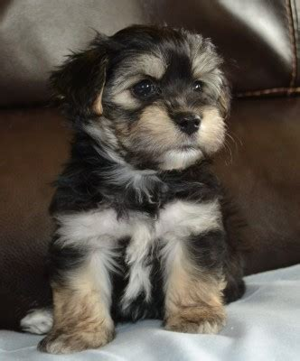 grandview havanese available havanese puppies enumclaw wa grandview havanese