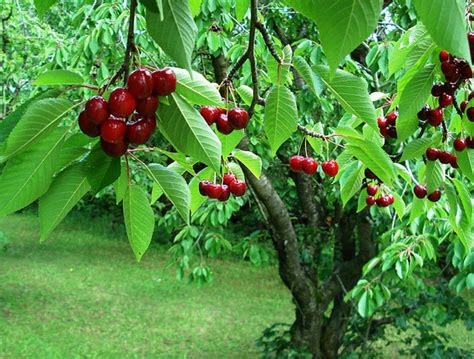 u fruit michigan cherry wars the economics of michigan s favorite