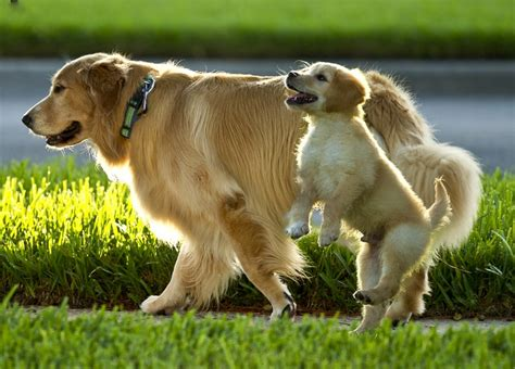 will my golden retriever protect me 381 best images about golden retriever on beautiful dogs the golden and