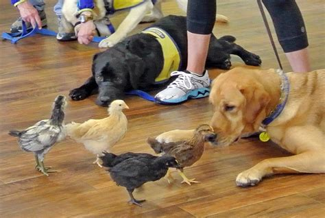 who trains service dogs cci puppy raiser class comprehensive pet therapy and comprehensive