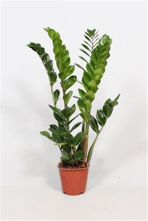 jual bibit tanaman hias daun zamioculcas zamiifolia