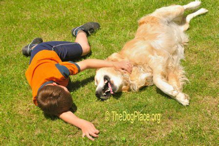 golden retriever lymphoma treatment malignant lymphoma in the canine link to pesticides