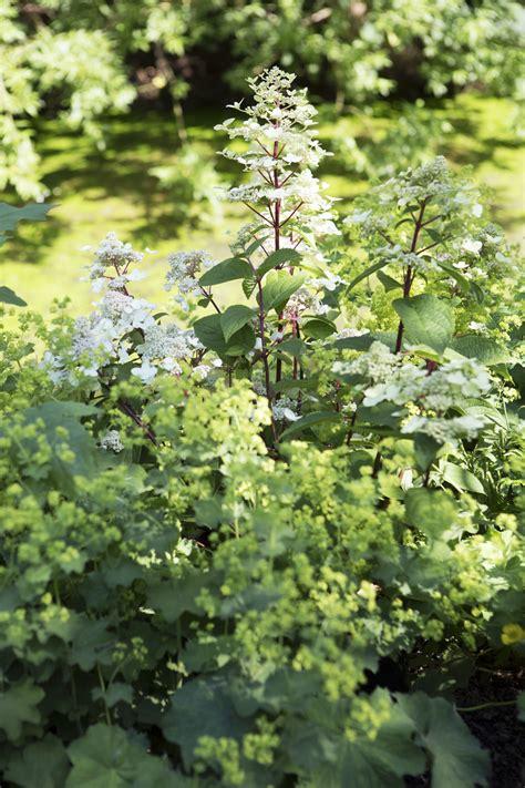 Gartenpflanzen Im Juli Pflanzen by Gartenpflanze Des Monats Juli Die Rispenhortensie