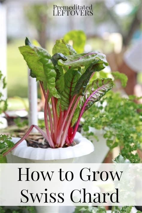 tips to grow hard to propagate plants tips for growing swiss chard in your garden