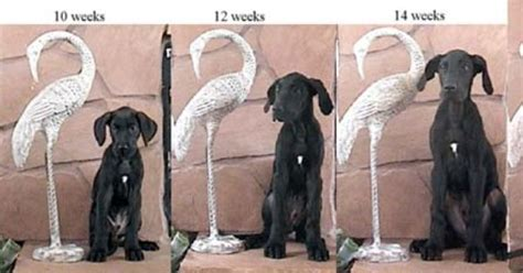 great dane puppy growth chart great dane puppy growth is no joke from gentle giants rescue greatdane puppy