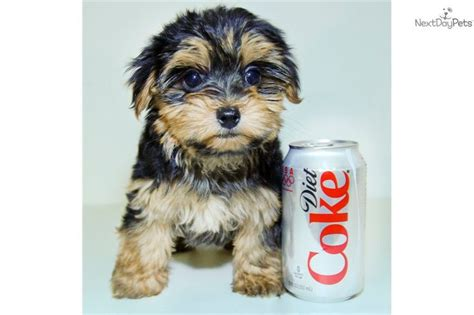 looking for a yorkie you ll this yorkiepoo yorkie poo puppy looking for a new home