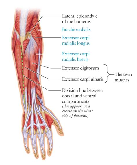 arm muscles diagram human anatomy for the artist september 2011
