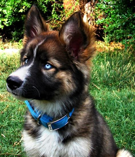 german shepherd mixed with husky german shepherd husky mix