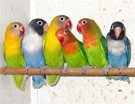 gabbia pappagalli inseparabili agapornis