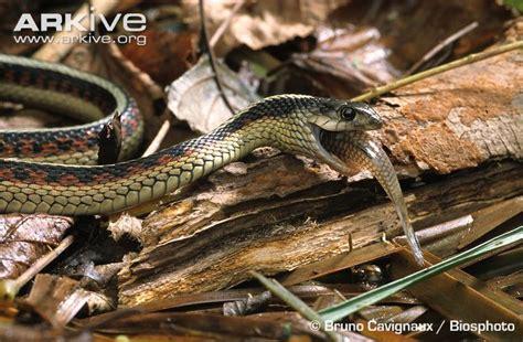Garter Snake Eat Common Garter Snake Photo Thamnophis Sirtalis G85154